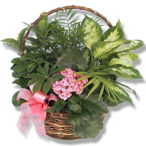 Indoor-Basket-plant