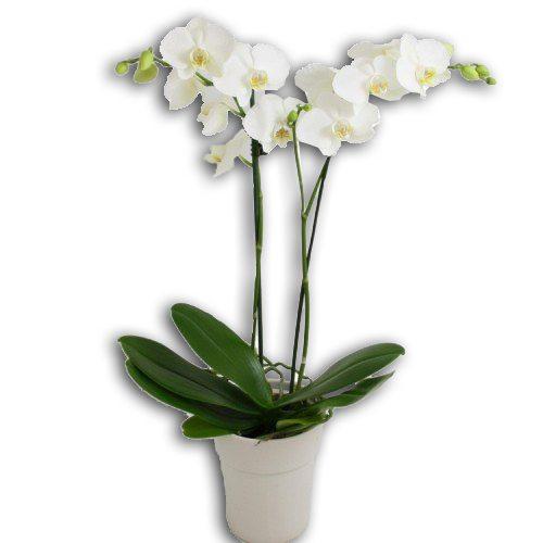 White-Phalenopsis- Plant