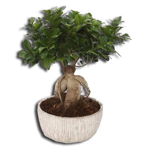ficus-bonsai-plant