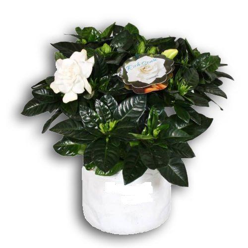 gardenia-in-pot