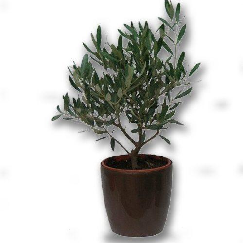 olive-tree-plant